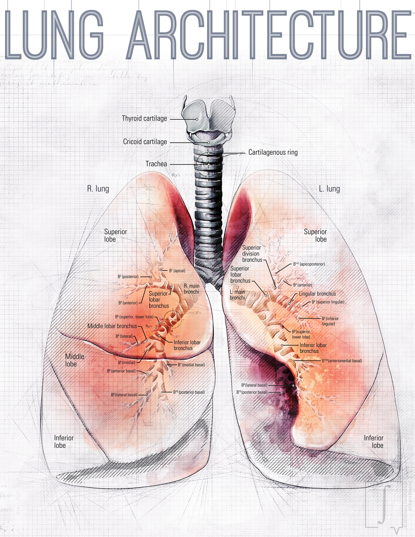 Lung Anatomy Inessa Stanishevskaya Biomedical Communication