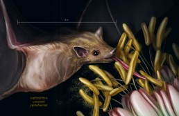 An educational natural science illustration on the lesser long-nosed bat and its recent removal from the endangered species list by the United States Fish and Wildlife Services. The two-page spread discusses the factors that affected the species' populations and how the species bounced back. The illustration showcases the feeding mechanism of the